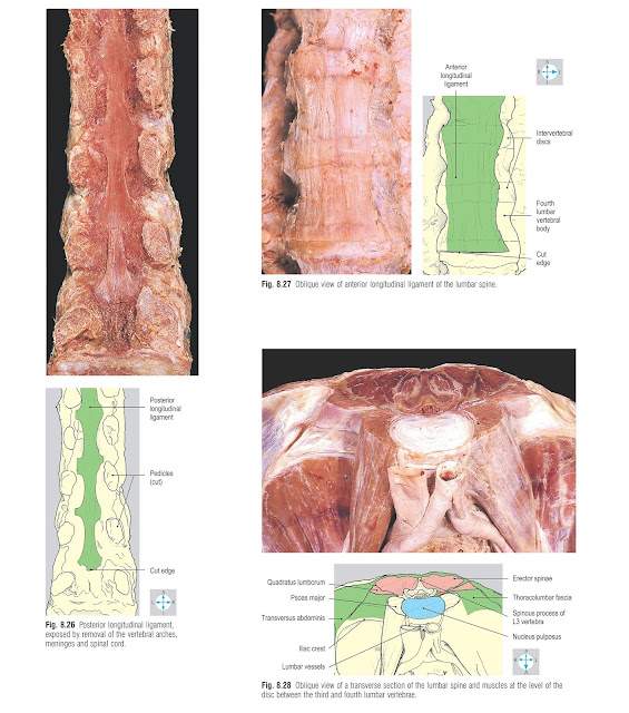 Oblique view of anterior longitudinal ligament of the lumbar spine.