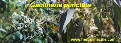 Uric acid use Gaultheria punctata