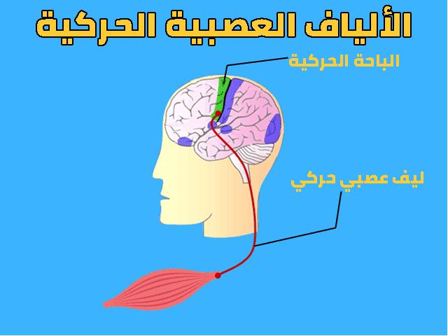 درس الجهاز العصبي التحركية الإرادية السنة الثالثة اعدادي
