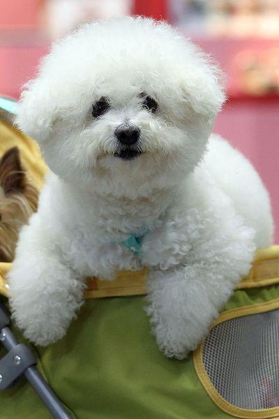 Bicon Frise white dog breed