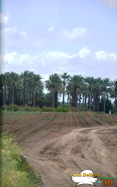 palm trees עצי דקל