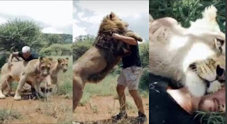 Man reunites with 5 lions he trained from birth after weeks apart, see how they welcomed him