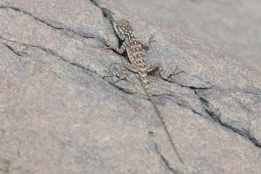 Juvenile Anderson's Rock Agama