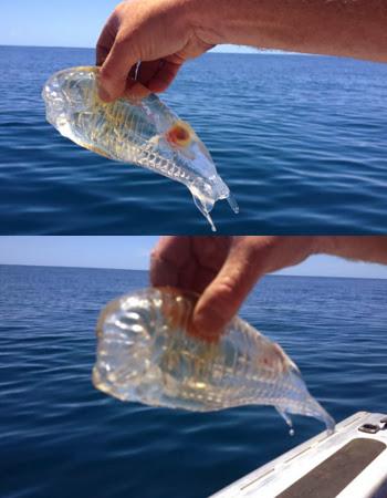 Unik Sekali Ada Ikan Transparan yang Ditemukan Oleh Pemancing