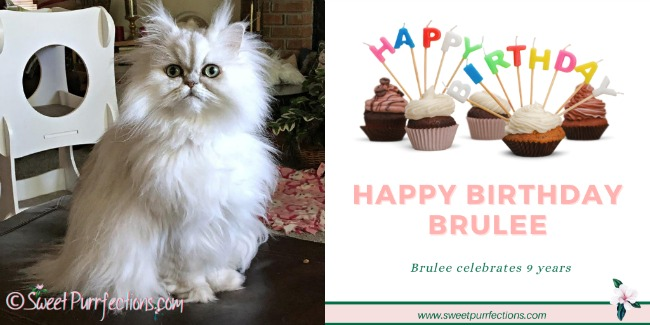 Silver shaded Persian cat, Brulee, sitting on the footrest celebrating her 9th birthday