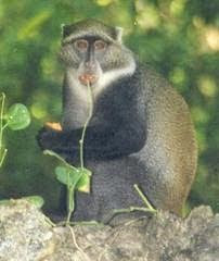 female blue monkey