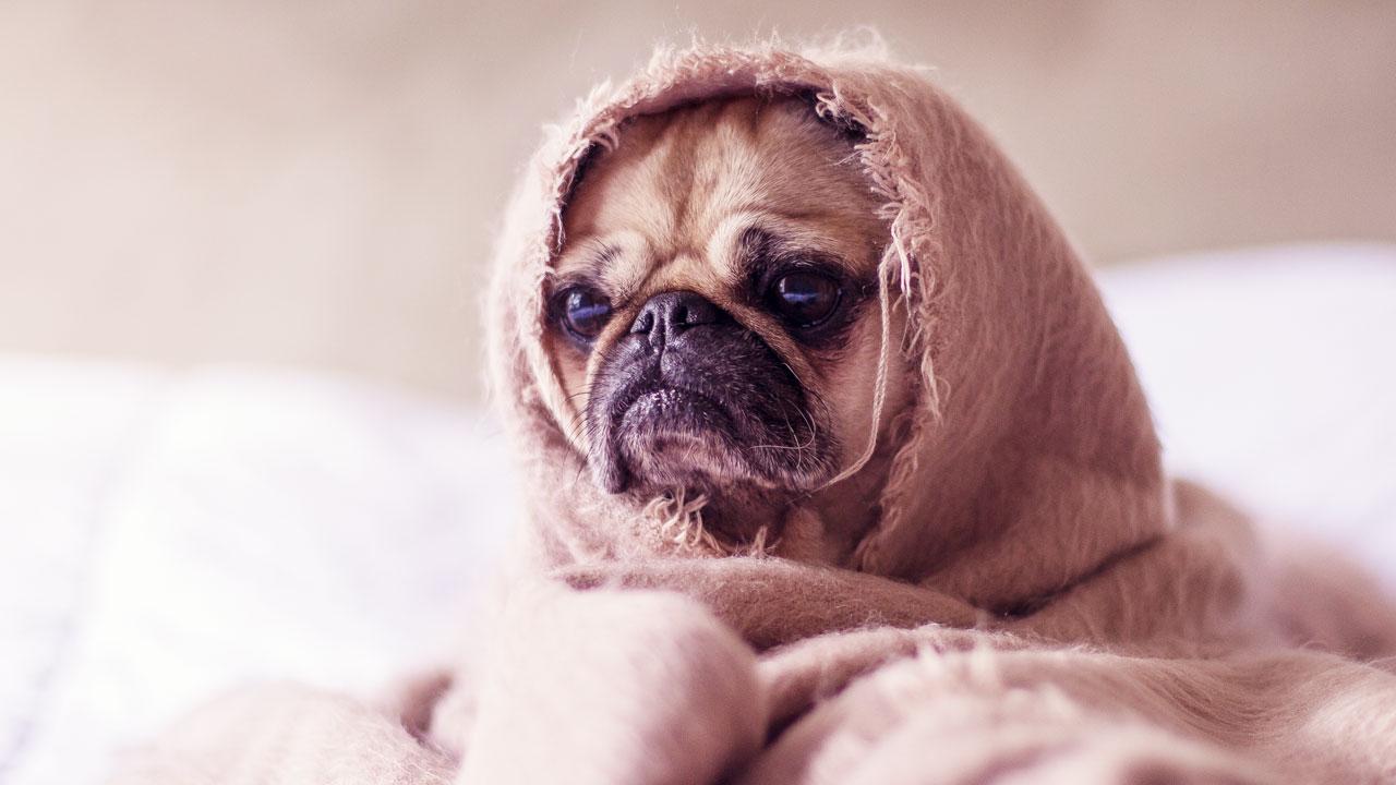 La leucémie chez les chiens : symptômes, causes et traitements