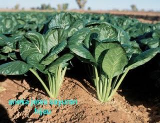 macam macam sayuran hijau