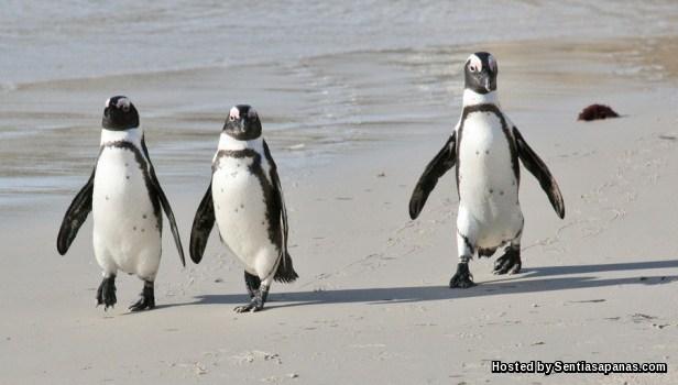 Penguin Afrika (Pinguin Jackass)