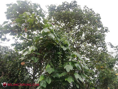 Pokok Mahang
