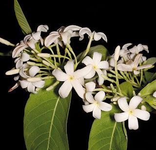 ต้นโมกหลวง (โมกใหญ่) ไม้ดอกหอมไทย Holarrhena-pubescens