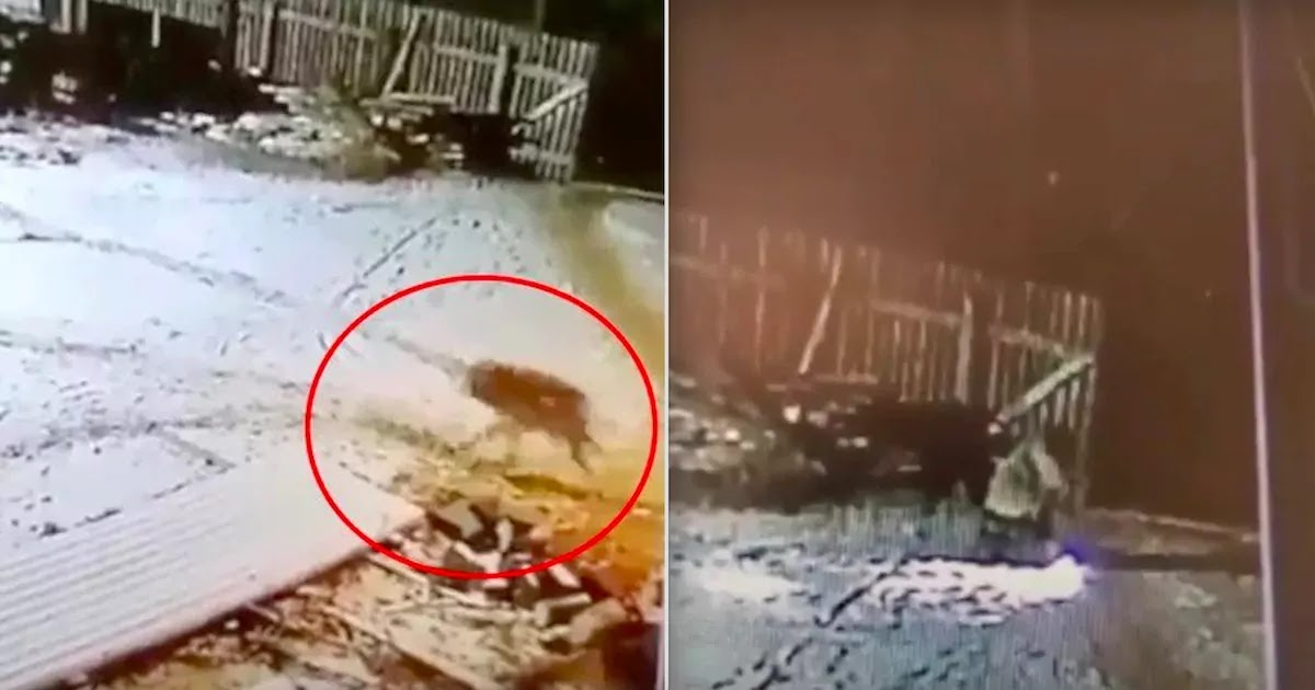 Footage Shows Farmer In Russia Killing Wolf With His Bare Hands After It Attacks Him And Kills His Two Dogs