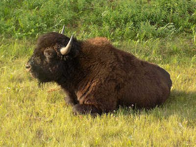 The Bison Use Their Horns to Dig Down to the Dirt For Comfort