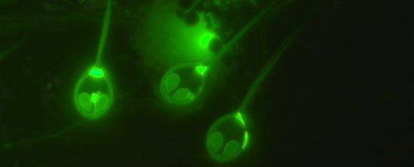 يشبه قنديل البحر.. اكتشاف أول كائن معروف لا يتنفس ويعيش بلا أكسجين