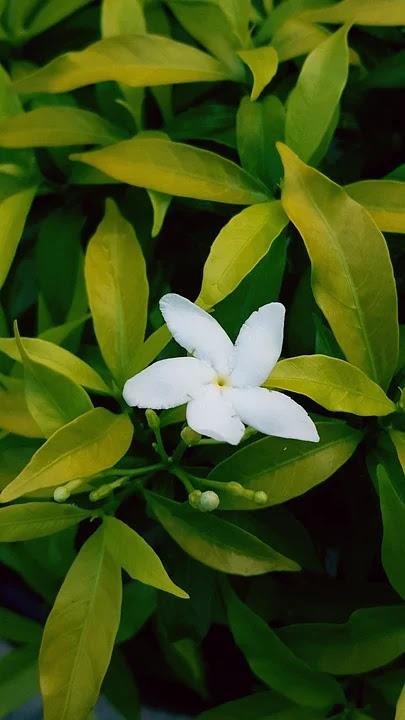 Jasmin flower from Indoenesia