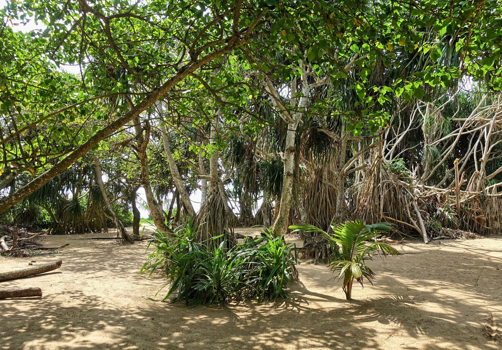 mangrove forest in bentota