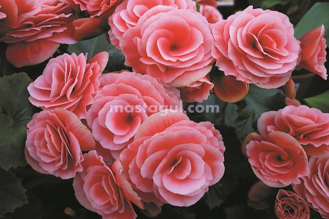 Tanaman Bunga Hias Begonia