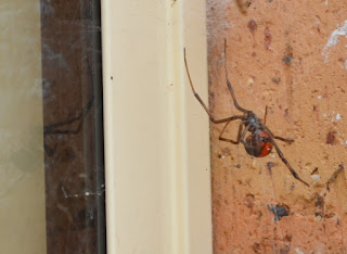 A close up of redback spider outside my kitchen window.