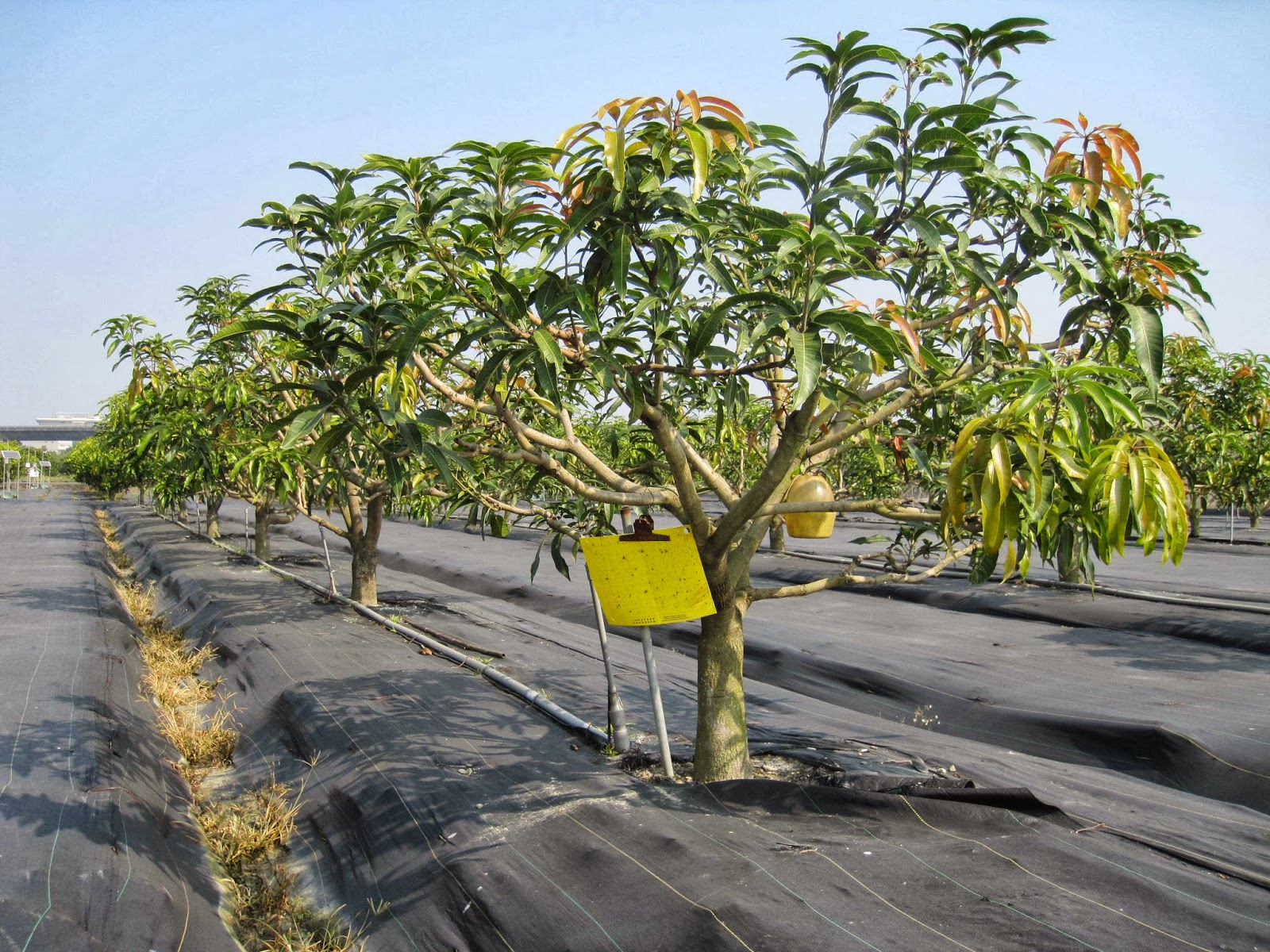 riego en mango