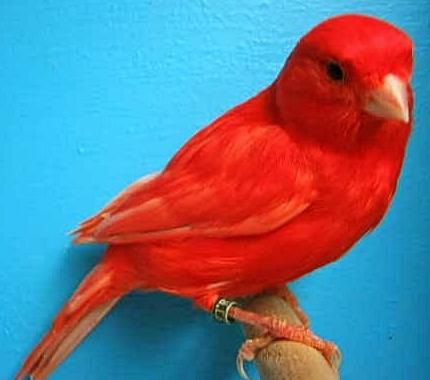 10 Gambar Burung Kenari Merah Anakan Dan Indukan Gambar Foto Burung Kenari Lokal Dan Impor