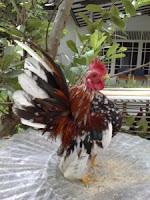 ayam_indah
