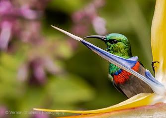 Southern Double-Collared Sunbird Kirstenbosch National Botanical Garden Bird Species