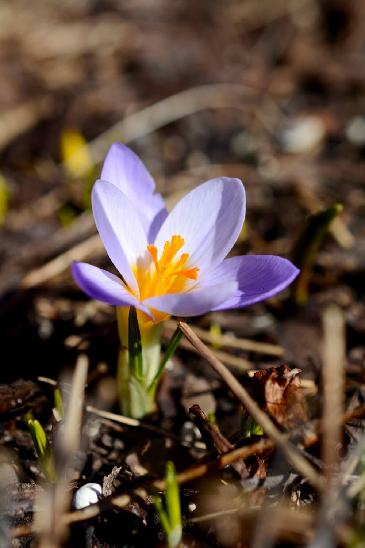 kevään-ensimmäinen-krookus