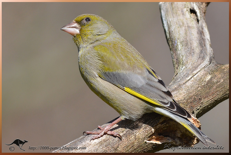 European Greenfinch VS Sparrowhawk