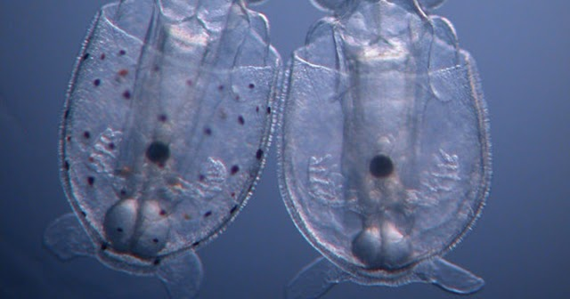 Kiütötték az első génmódosított tintahal pöttyösítő génjét, de a koronavírussal nem tudnak mit kezdeni?
