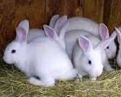 jenis dan ciri-ciri kelinci berukuran mini