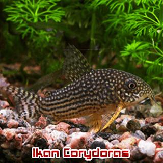 Ikan Hias Aquascape Corydoras