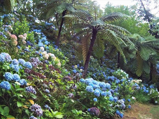 Centros de hortensias azules y helechos en el Jardín botánico de Furnas (Açores)