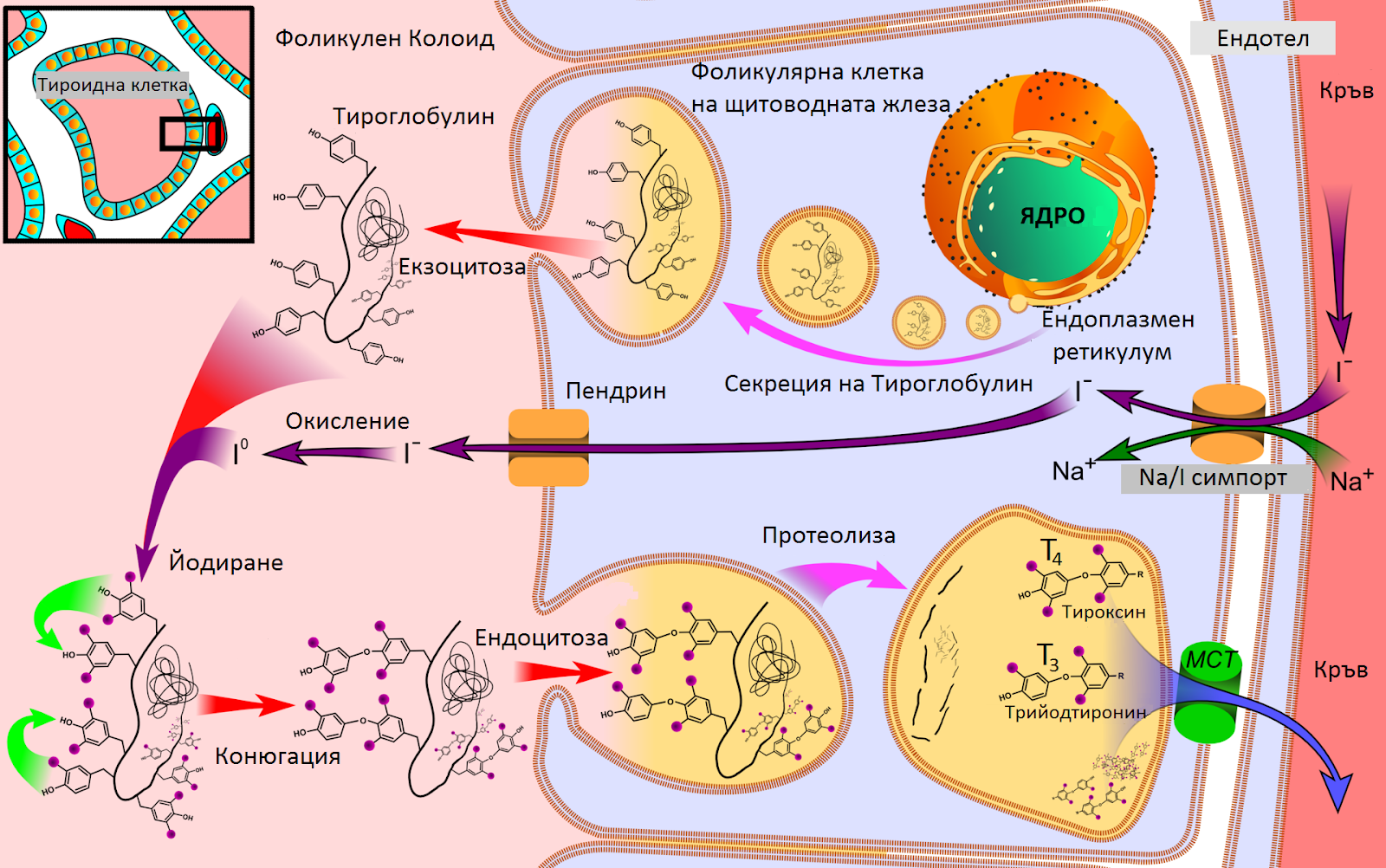 Тиреоидни хормони