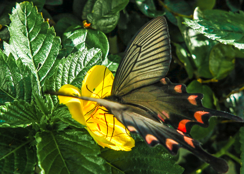 Butterfly on yellow flower, Ishigaki Island, Japan.