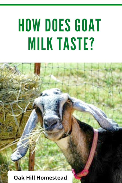 Dairy goat eating hay