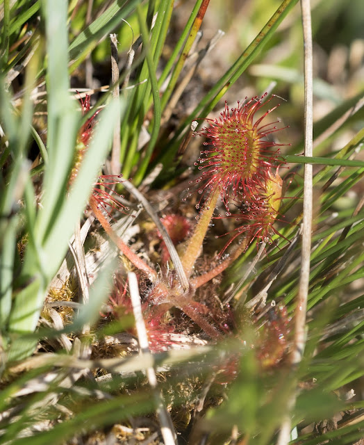 Round-leaved Sundew - Anglesey