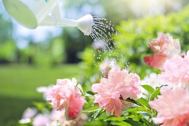 Perhatikan frekuensi penyiraman tanaman