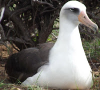Laysan albatross, Kaena Point colony, Oahu - by Denise Motard