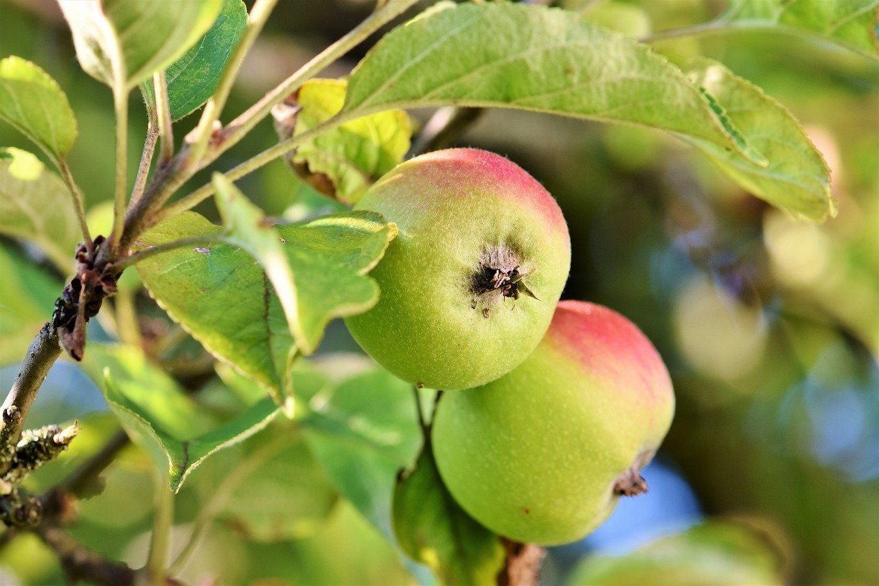 Gambar buah apel hijau