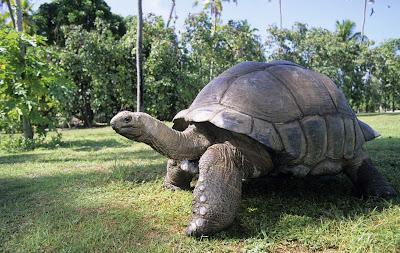 Bentuk Fisik Kura-Kura Raksasa Aldabra