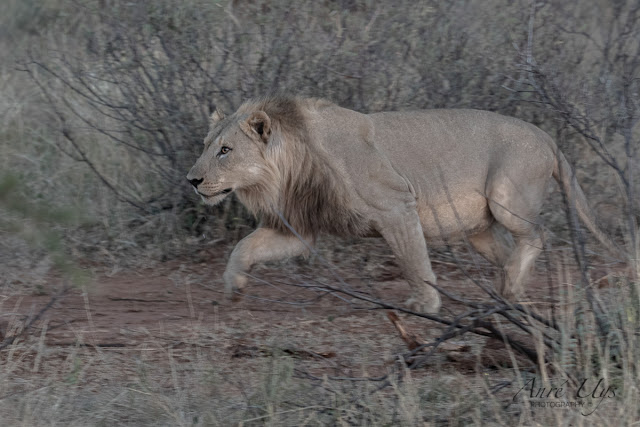 Young Male Lion approaching, Black Rhino, Pilanesberg