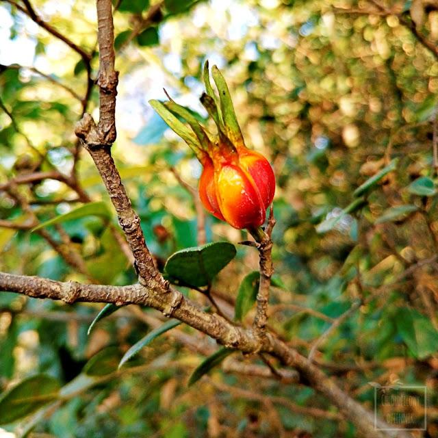 Gardenia jaśminowata Gardenia jasminoides Cape jasmine owoce herbata z owoców gardenii Zhizi tcm stosowanie właściwości smak uprawa naturalne barwniki