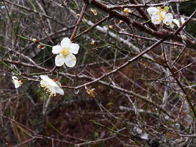 Close-up of plum blossoms on a rainy winter dy