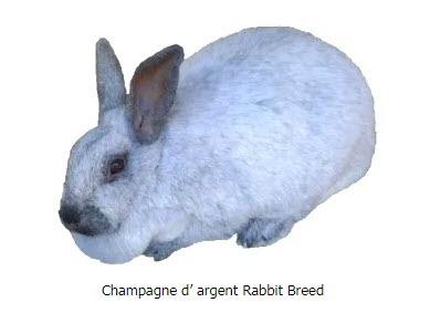 champagne rabbit breed