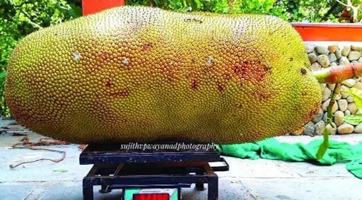 Giant Jackfruit from Wayanad Kerala, Guinness World Records