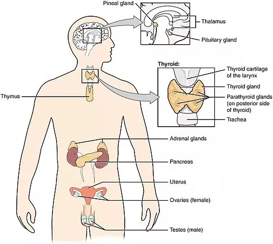 ENDOCRINE SYSTEM : ICSE Class 10th Biology Chapter 11