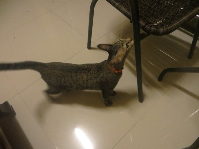 Серый кот нюхает стул