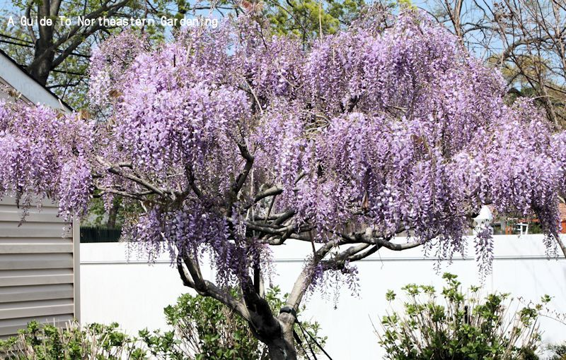 A Guide To Northeastern Gardening Wisteria Sinensis Chinese