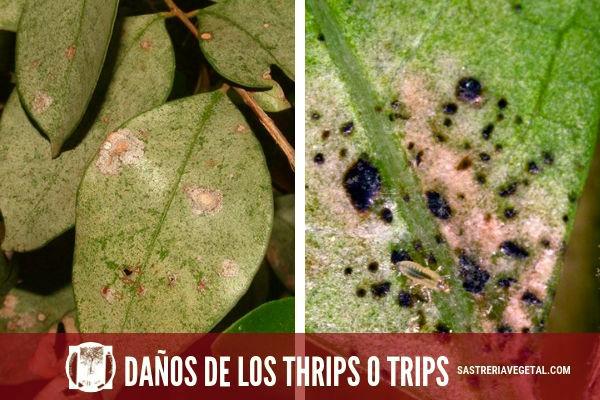 Los daños de los thrips o trips: Por ejemplo en la espiga de trigo , los tisanópteros son chupadores, y para alimentarse clavan el pico en las hojas