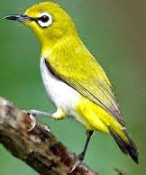 pleci auri www.burung45.blogspot.com